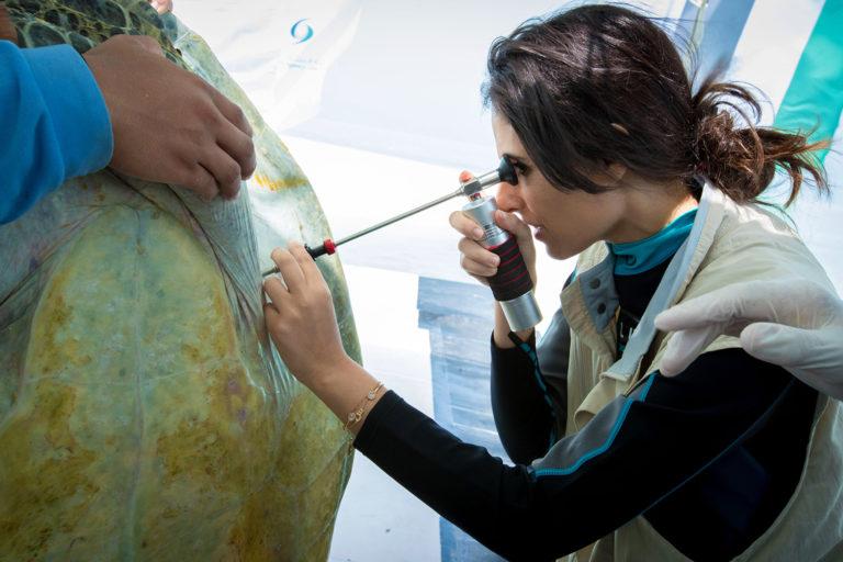Razan Khalifa Al Mubarak performing a laparoscopy on a Green turtle before release.