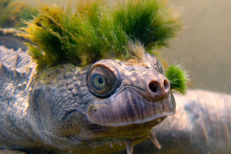 Mary River turtle, Queensland Australia. Photo credit: the Mary River turtle conservation program