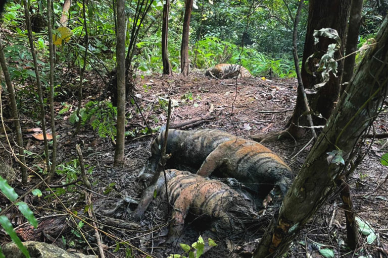 The three dead tigers in Aceh. Image by Chandra.