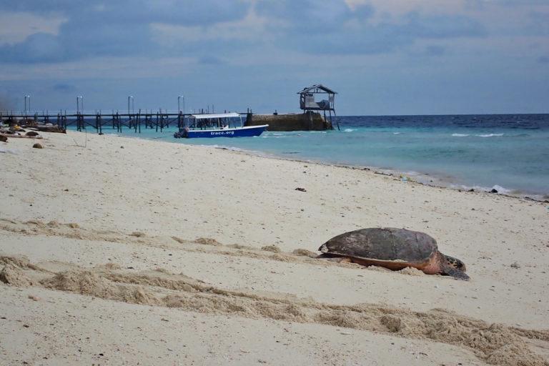 A female turtle crawls back to water, TRACC, Pom Pom Island, East Malaysia. Image courtesy of Jeethvendra Krishnamoorthi.