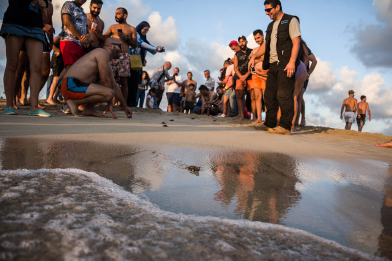 Tyre, Lebanon, July 2021. A Tiny Loggerhead turtle hatchling reaches the water in front of a crowd of enthralled onlookers. Image courtesy of Elizabeth Fitt.