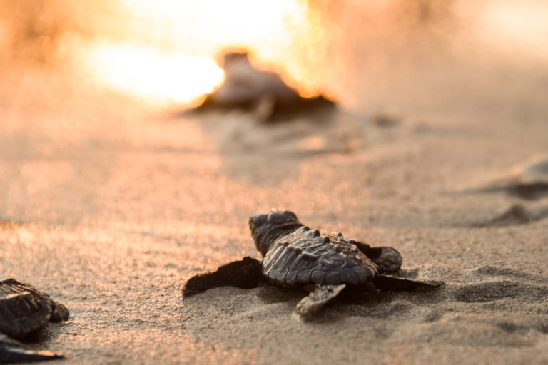 Tyre, Lebanon, July 2021. A Loggerhead turtle hatchling takes a breather on its way to the sea for the first time. Image courtesy of Elizabeth Fitt.