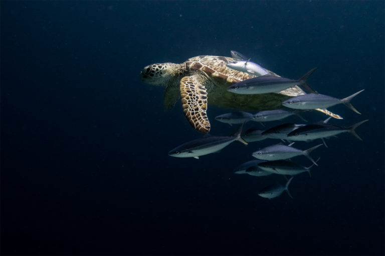 A Green turtle swimming with an entourage of fish close to the Tropical Research and Conservation Center (TRACC), on Pom Pom Island, East Malaysia. Image courtesy of Elizabeth Fitt.