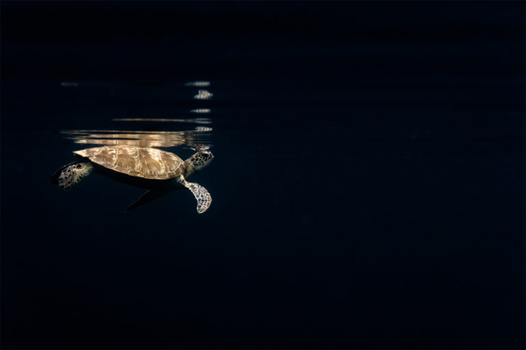 A Green turtle swimming close to the Tropical Research and Conservation Center (TRACC), on Pom Pom Island, East Malaysia. Image courtesy of Elizabeth Fitt.