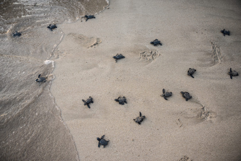 Tyre,-Lebanon,-July-2021.-Tiny-Loggerhead-turtle-hatchlings-scramble-determinedly-across-the-sand.-Credit-Elizabeth-Fitt