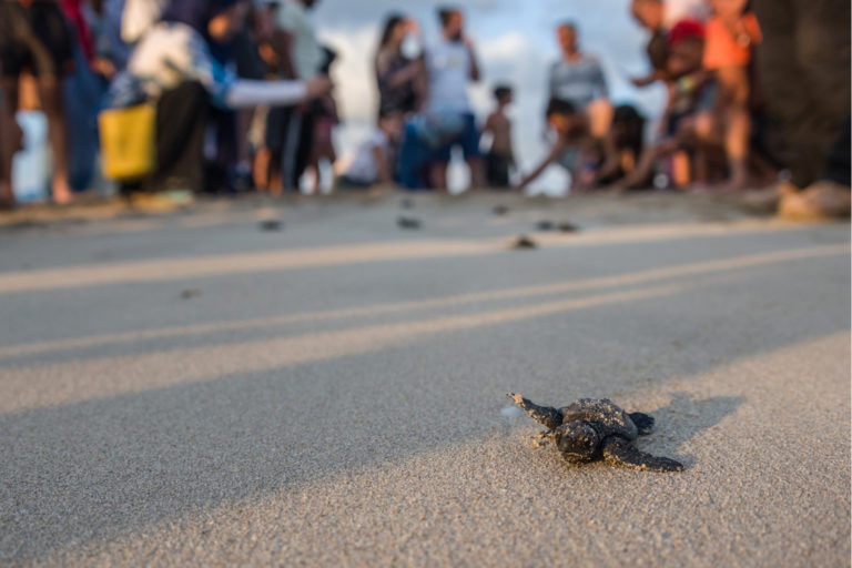 Tyre,-Lebanon,-July-2021.-Tiny-Loggerhead-turtle-hatchlings-scramble-determinedly-across-the-sand-in-front-of-a-crowd-of-enthralled-onlookers.-Credit-Elizabeth-Fitt