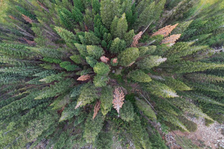 Pine forest in California's Sierra Nevada. Photo credit: Rhett A. Butler