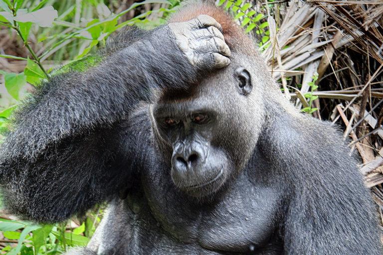Gorilla in Gabon. Photo credit: Rhett A. Butler