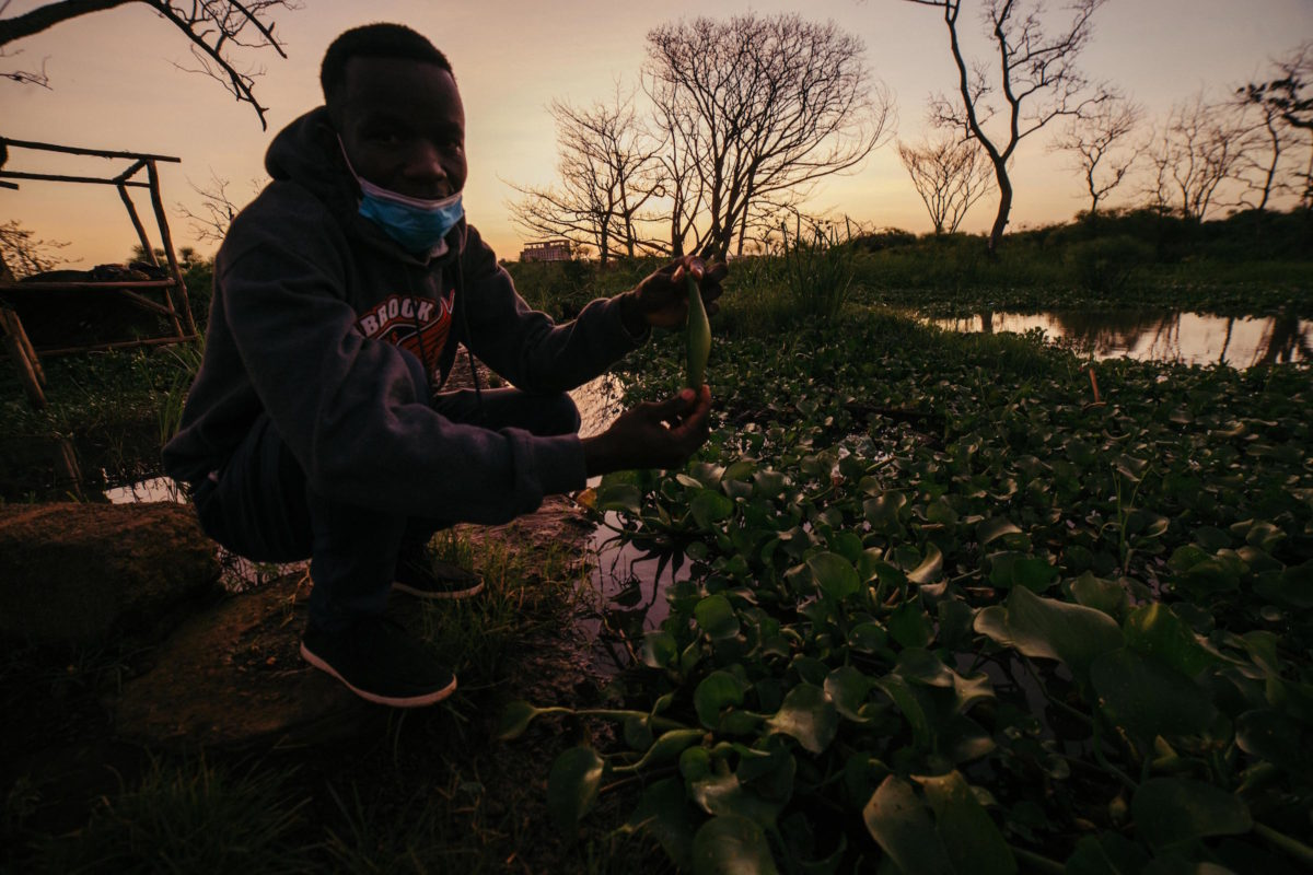 Man squatting with bulb of water hyacinth with light dawning on hyacinth-choked water body behind him. Image by Kang-Chun Cheng for Mongabay.
