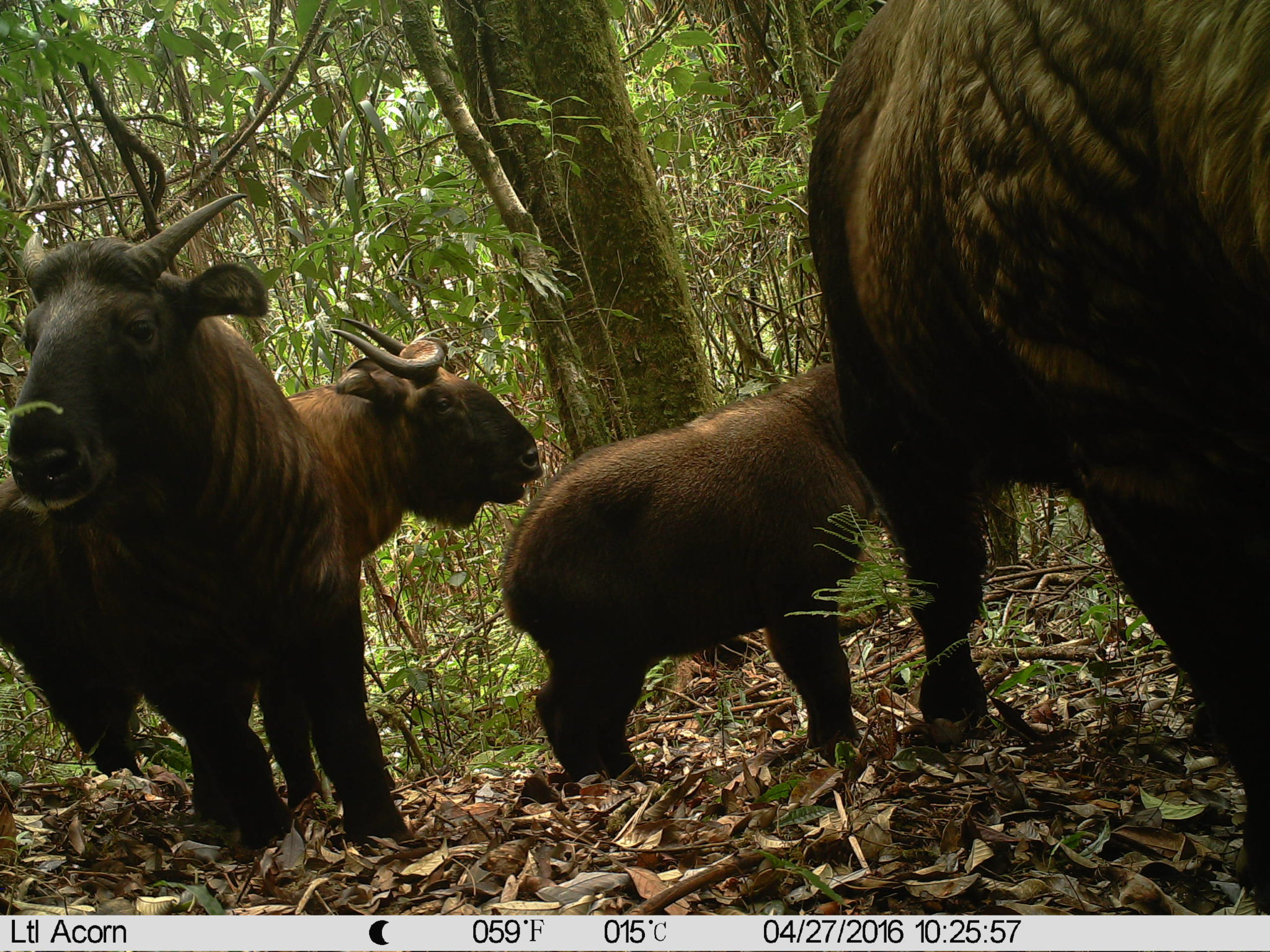 Takin (Budorcas taxicolor), a rare type of gnu goat or cattle chamois that lives in the eastern Himalaya. Image courtesy of Southeast Asia Biodiversity Research Institute, Chinese Academy of Sciences