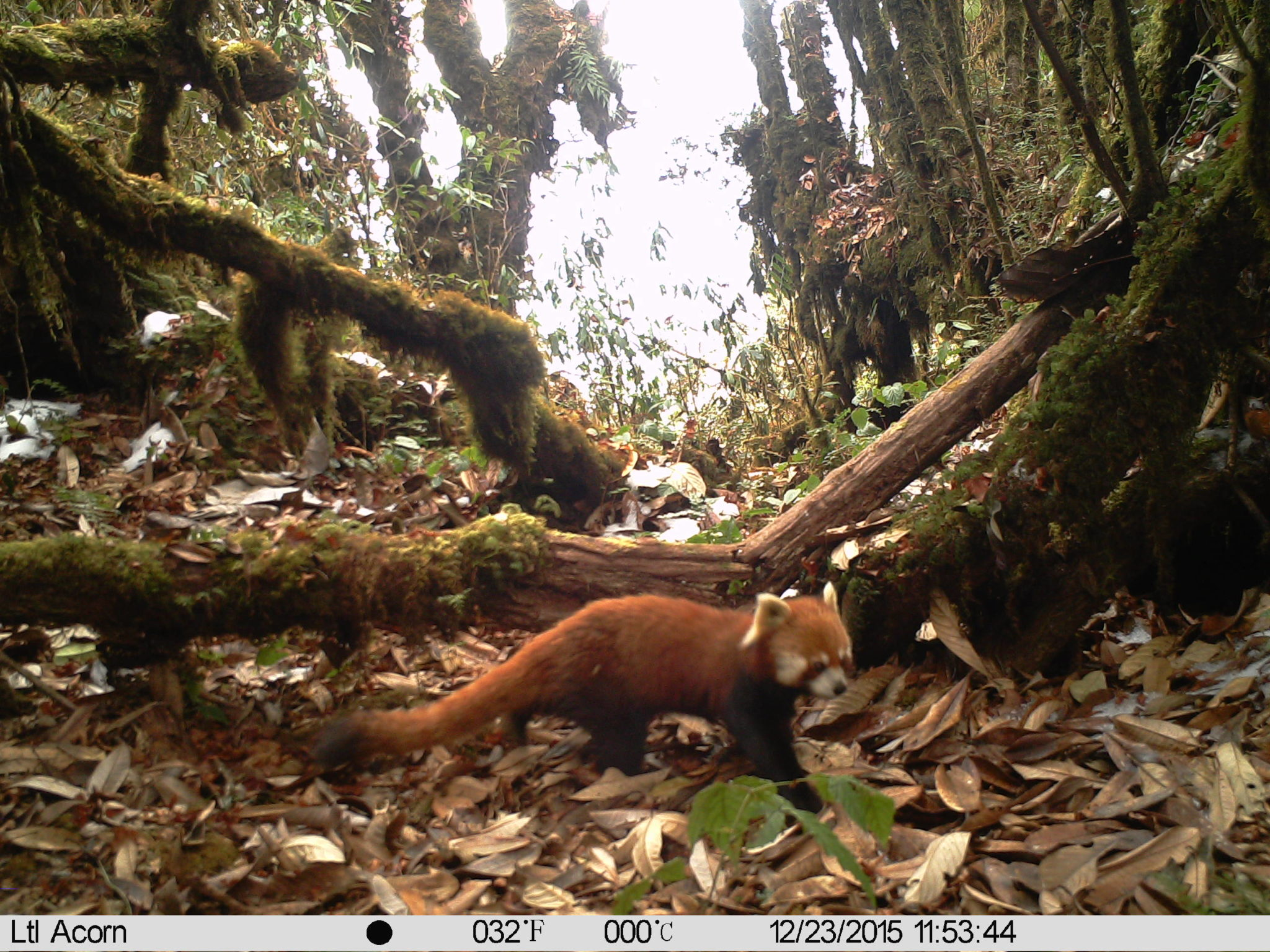 The sole camera trap photo of a red panda, which shows clear tail rings and a red face, leading the researchers to identify it as a Chinese red panda (Ailurus styani). Image courtesy of Southeast Asia Biodiversity Research Institute, Chinese Academy of Sciences