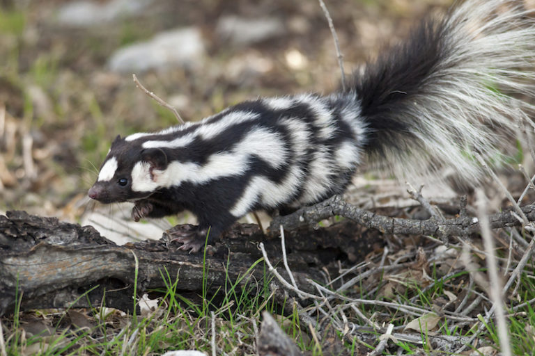 Western spotted skunk (Spilogale gracilis). Image by Robby Heischman courtesy of the Field Museum.