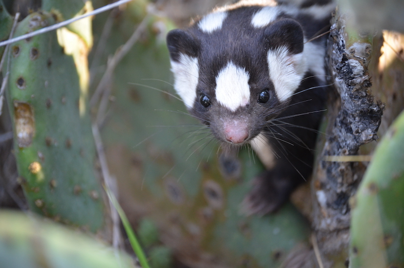 The face of a western spotted skunk. Image by R.C. Dowler.