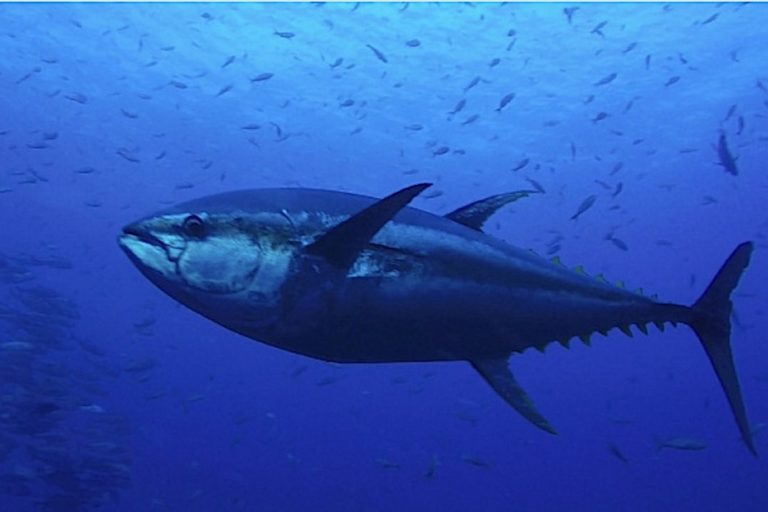 Are tuna doing as well as latest extinction risk assessments suggest? It's complicated