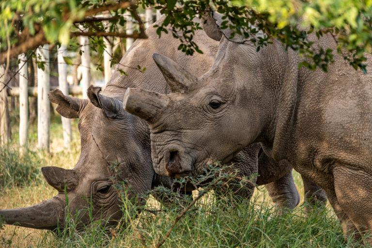Creation of three new northern white rhinos embryos may indicate hope for other rhino species