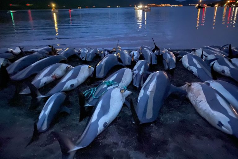 Faroe Islands to evaluate traditional hunt after slaughter of 1,400 dolphins