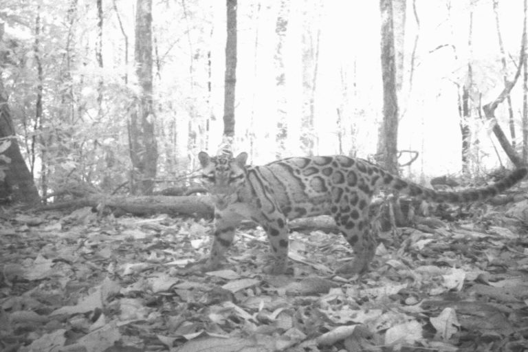 Camera trap photo of a clouded leopard. Photo credit: Panthera