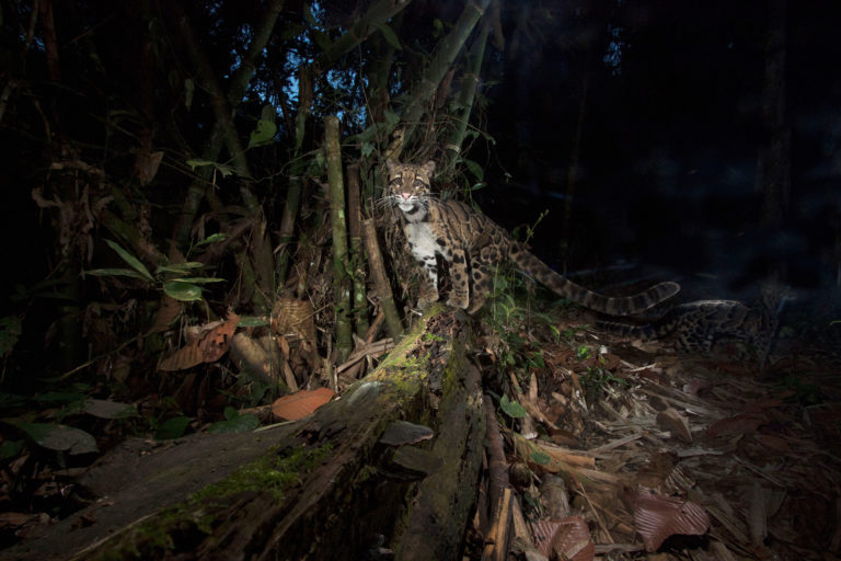 Clouded leopard in India. Photo credit: Steve Winter/National Geographic