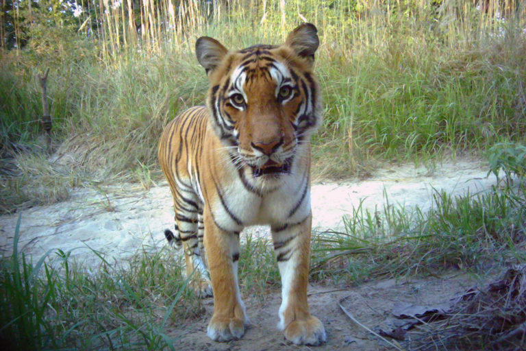 Tiger in Nepal. Photo credit: DNPWC/NTNC/Panthera/WWF/ZSL