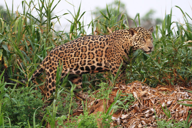 Jaguar in Brazil. Photo credit: Rafael Hoogesteijn/Panthera