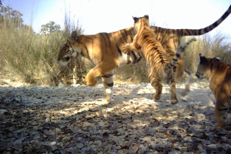 Tigers in Nepal. Photo credit: DNPWC/NTNC/Panthera/WWF/ZSL
