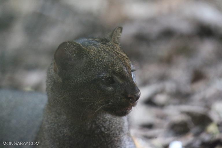Jaguarundi. Photo credit: Rhett A. Butler