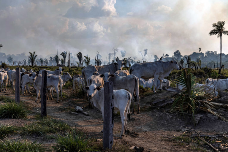 Cattle in a ranching area, next to a recently deforested and burnt area, in Candeias do Jamari, Rondônia state. Overflights organized by the Amazon in Flames Alliance -- Amazon Watch, Greenpeace Brazil and the Brazilian Climate Observatory -- between September 13th and 17th documented land use change and fire around the cities of Porto Velho, Rondônia, and Lábrea, Amazonas. Photo © Victor Moriyama / Amazônia em Chamas (Amazon in Flames Alliance)
