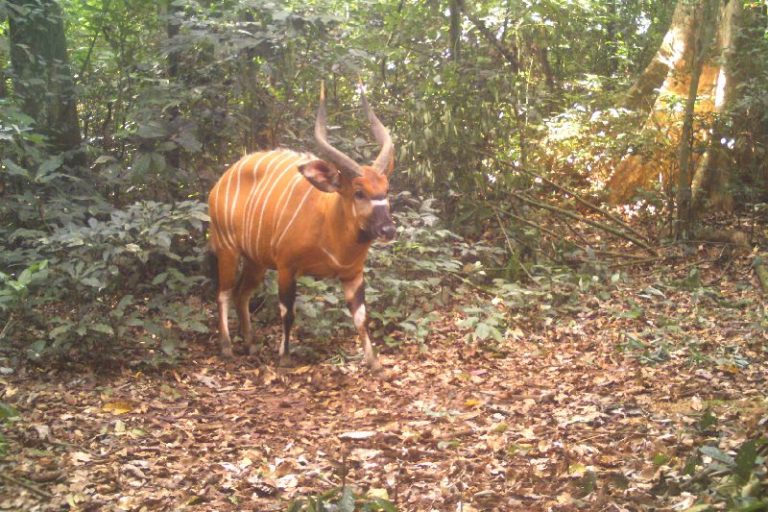 Congo's bongos are in danger, and curbs on trophy hunting could save them