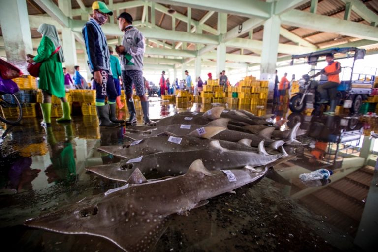 Overfishing threatens to wipe out bowmouth guitarfish in Indonesia, study says