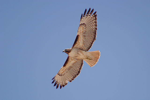 A red-tailed hawk (Buteo jamaicensis). Image courtesy of Alan Vernon/Flickr.