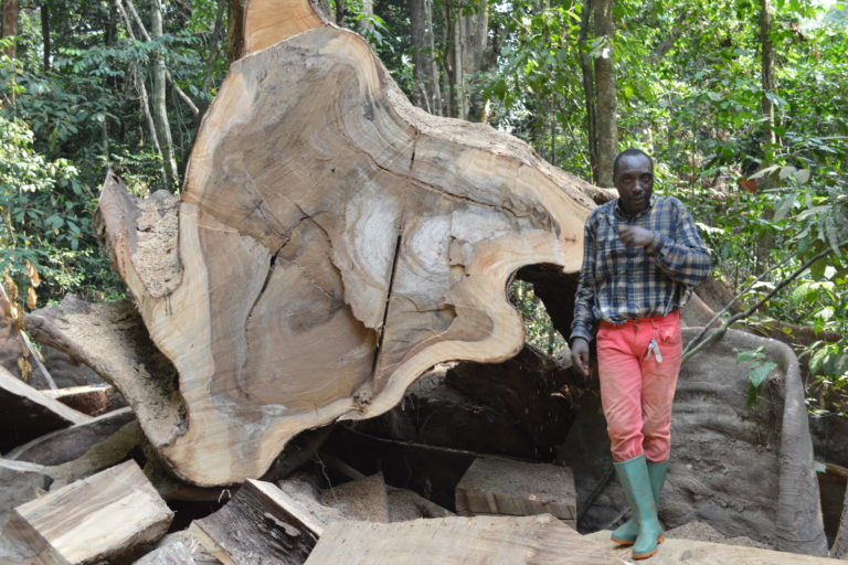 Fallen giant: a member of the survey team inspects the remains of a felled African zebrawood in Ebo Forest Image courtesy Eric Nana.