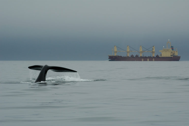 17-A-right-whale-in-the-vicinity-of-a-large-vessel-in-the-Bay-of-Fundy