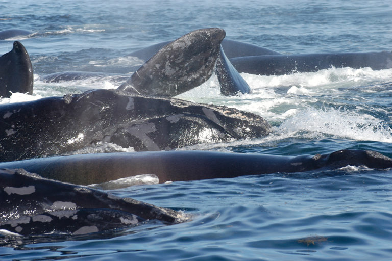 2-right-whales-come-to-the-surface-to-breathe-during-a-surface-active-group-(SAG)