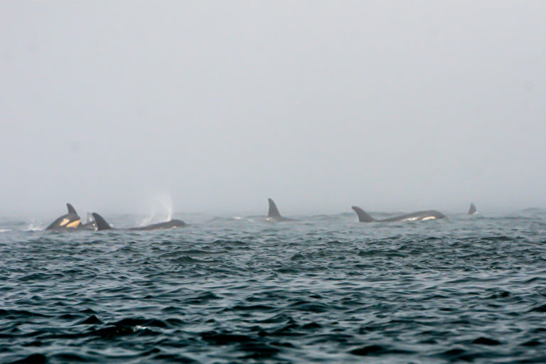 9-Southern-Resident-killer-whales-from-J-pod