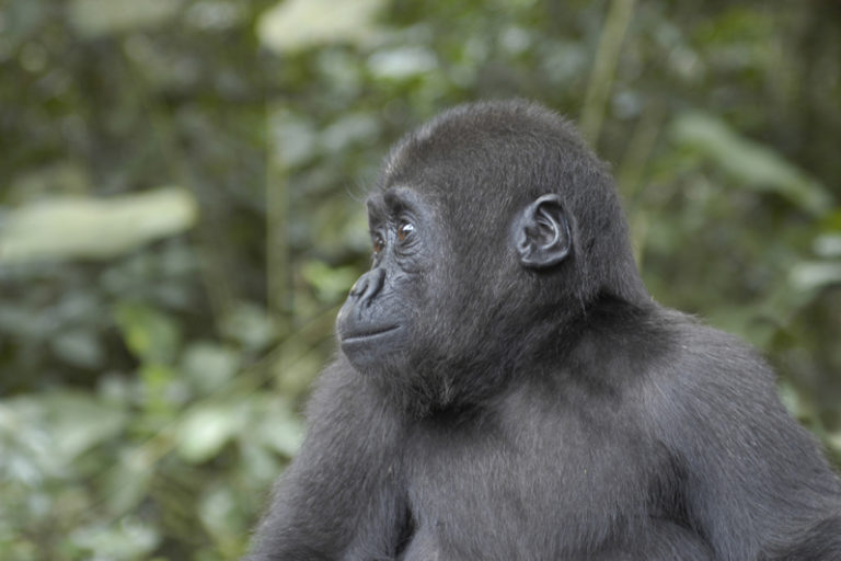 Baby western lowland gorilla, Cameroon. Image by Alan Duncan Hamilton via Flickr (CC BY-NC-ND 2.0)