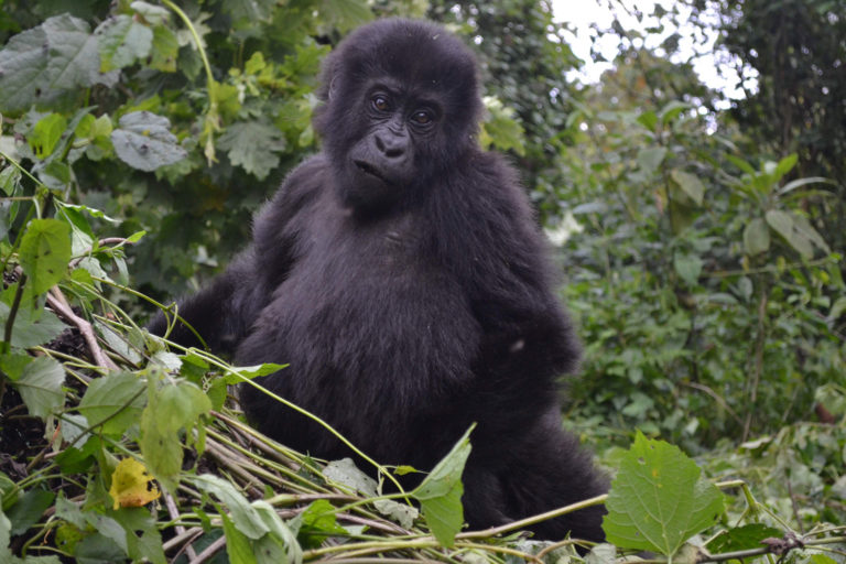Eastern Gorilla Democratic Republic of Congo. Photo credit: Strong Roots
