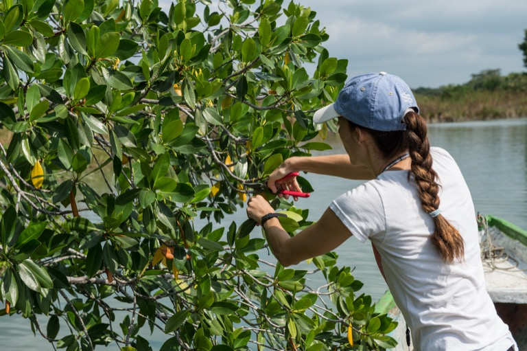 Project scientist Paula Ezcurra collecting a specimen from a red mangrove tree along the San Pedro Mártir River, Tabasco, Mexico. Image by Ben Messiner.