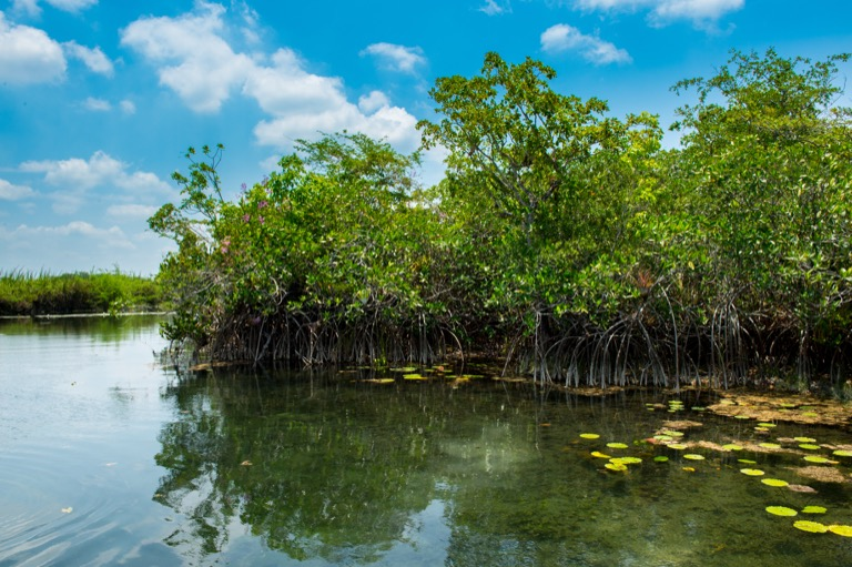 A stand of red mangroves sits in the calm, calcium-rich, fresh waters of the San Pedro Mártir River, Tabasco, Mexico. Image by Ben Meissner.