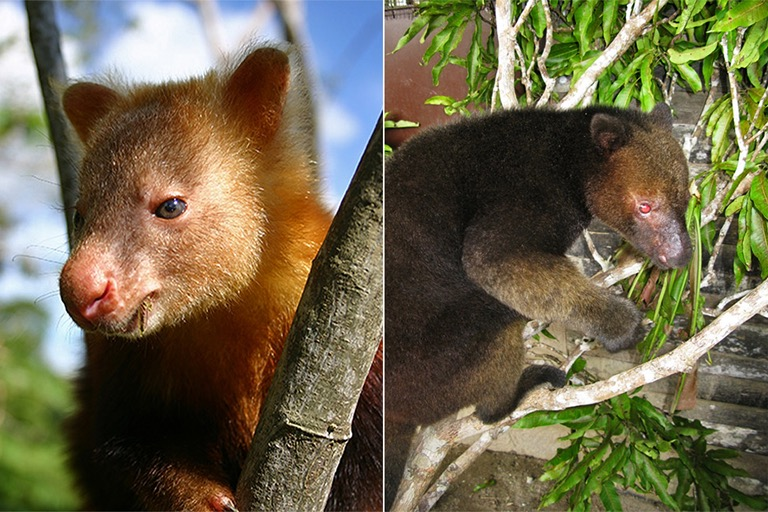 A weimang, left, and a tenkile. Images courtesy of the Tenkile Conservation Alliance.
