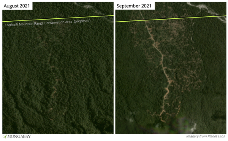 Satellite imagery from the University of Maryland reveals new tree cover loss around a logging road in the Torricelli Mountain Range. Image by Morgan Erickson-Davis.