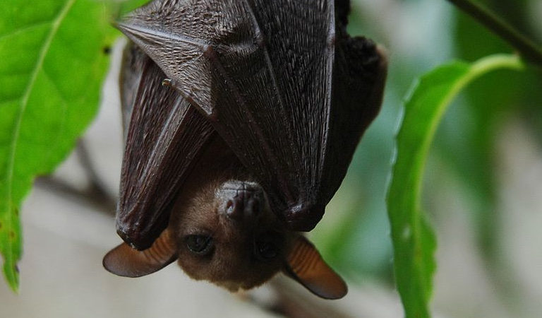 A long-tongued nectar bat (Macroglossus minimus), a subspecies of which is found on New Britain Island. Image via Wikimedia Commons (Public domain).