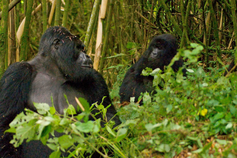 COVID could wreak havoc on gorillas, but they social distance better than we do