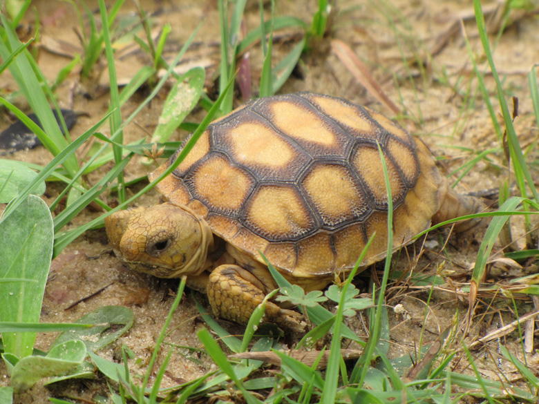 Baby Gopher tortoise. Hatchlings are yellow and become darker in color as they grow older. Photo by U.S. Fish and Wildlife Service via Flickr.