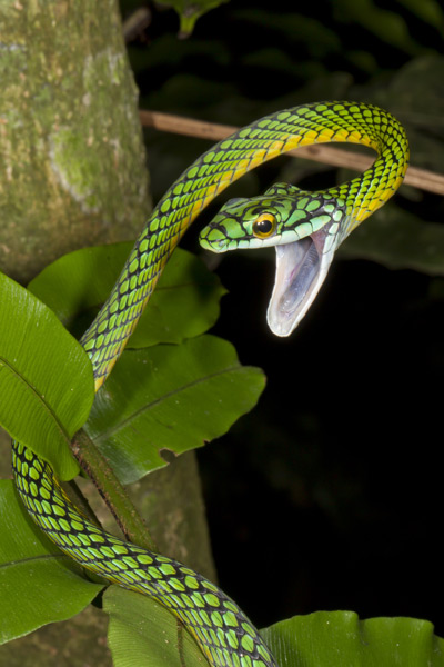 A parrot snake (Leptophis ahaetulla), one of at least 50 species of snake in Madidi National Park. Photo Credit: Mileniusz Spanowicz/WCS.