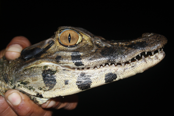 Black caiman. Photo by: Eric Maxwell.