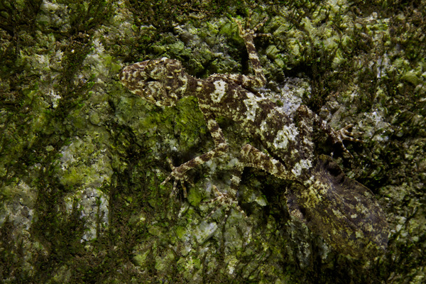 Camouflage artist, The Cape Melville Leaf-tailed Gecko. Photo copyright Tim Laman / National Geographic.