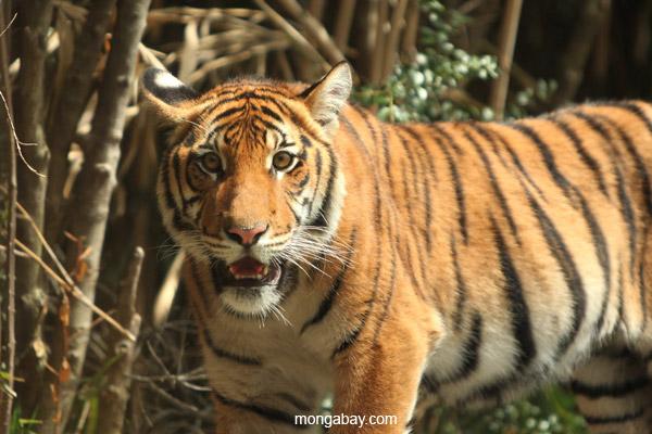 Malayan Tiger. Photo by Rhett. A. Butler / mongabay.com.