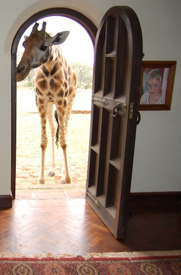 A Rothschild's giraffe at Giraffe Manor in Kenya. Photo courtesy of Creative Commons Attribution-Share Alike 3.0.