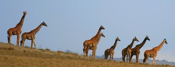 A group of Masai giraffes (Giraffa camelopardalis tippelskirchi) look out over the NgoroNgoro Crater. Photo by Gary.