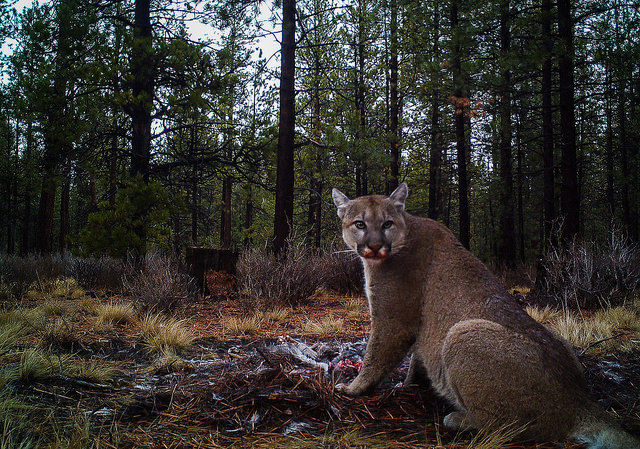 A puma finishes off a five day feast on a mule deer in Central Oregon. Photo by Jon Nelson